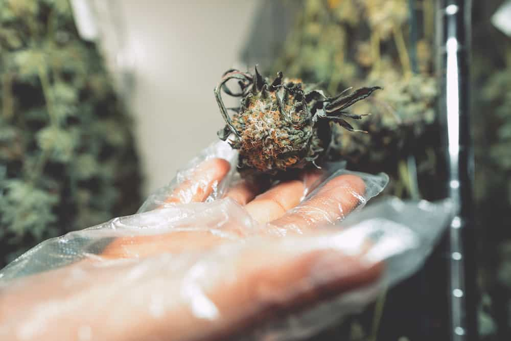 The High Times Pro Guide to Harvesting